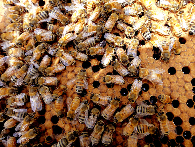Frame of Brood of Bees